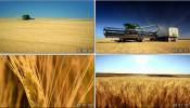 农业素材收割金黄色的麦田麦子宣传视频素材
