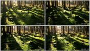 树荫 阳光 原始森林 苔林 苔藓 实拍森林视频素材