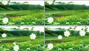 非常逼真的茉莉花茶园风光设计花海绿地 晚会演艺舞台视频
