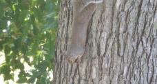 可爱的松鼠倒挂在树上啃咬坚果的特写镜头视频素免费下载